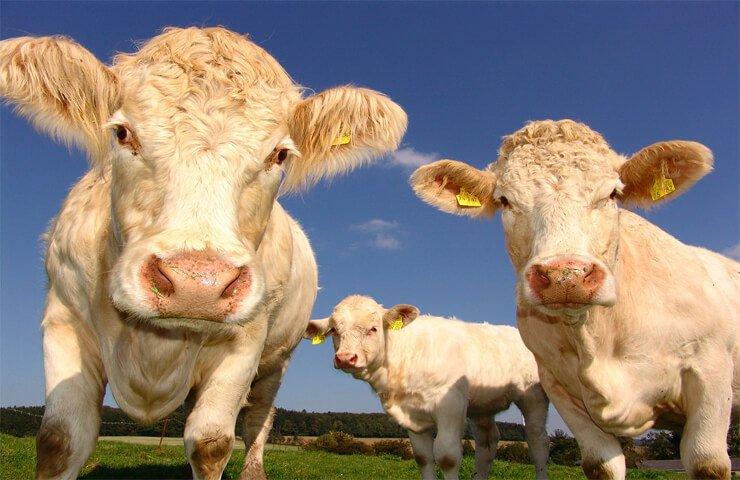 Environmental-impact-of-livestock